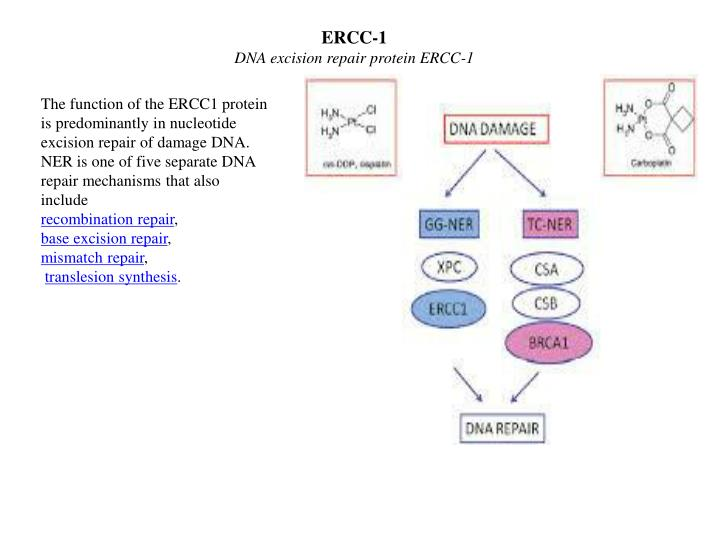 ERCC-1
