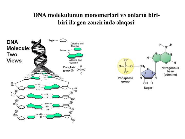 DNA molekulunun monome