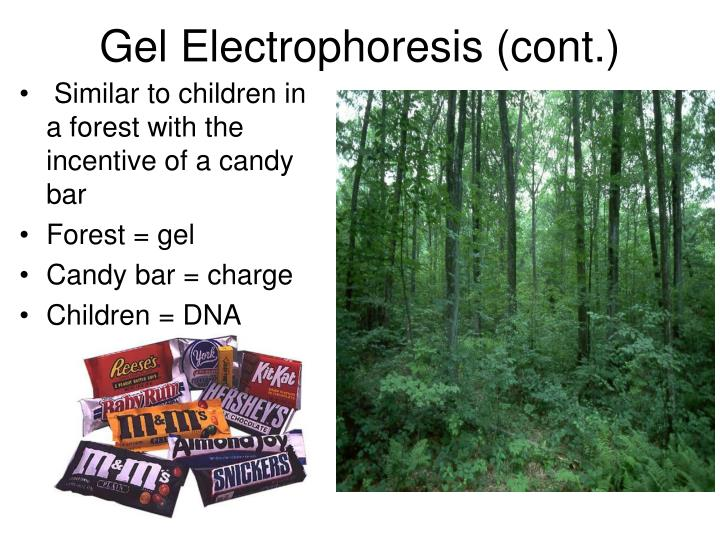 Gel Electrophoresis (cont.)