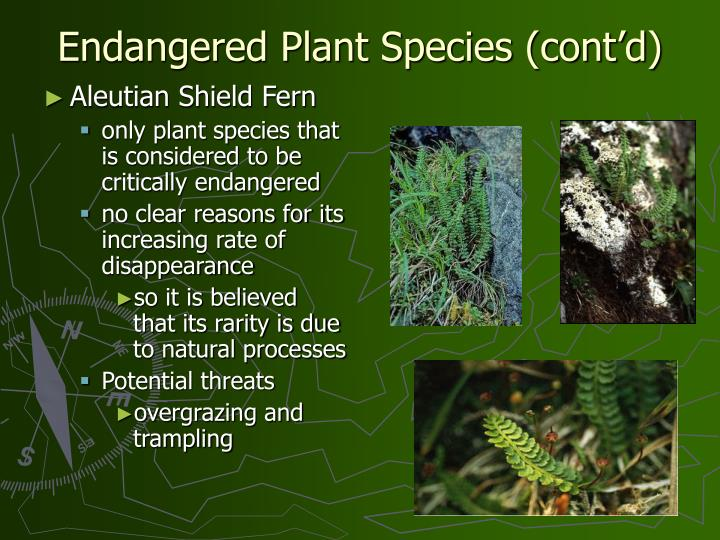 Aleutian Shield Fern