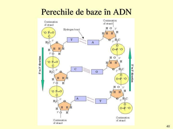 Perechile de baze în ADN