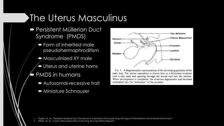 The Uterus Masculinus