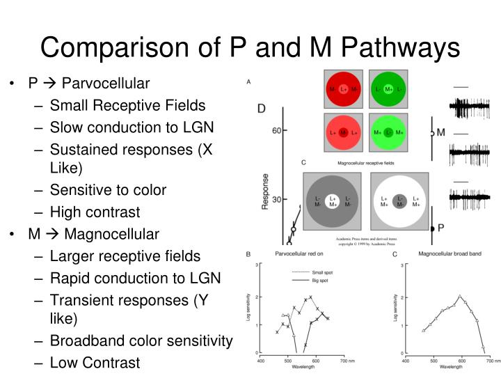 Comparison of P and M Pathways