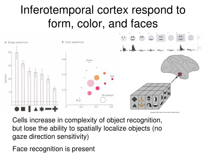 Inferotemporal cortex respond to form, color, and faces