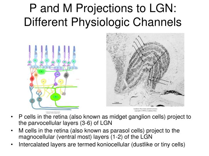 P and M Projections to LGN: Different Physiologic Channels