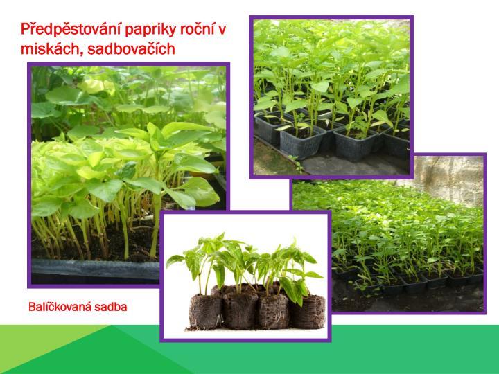 Předpěstování papriky roční v miskách, sadbovačích