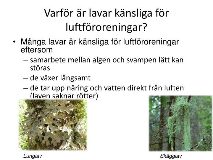 Varför är lavar känsliga för  luftföroreningar?