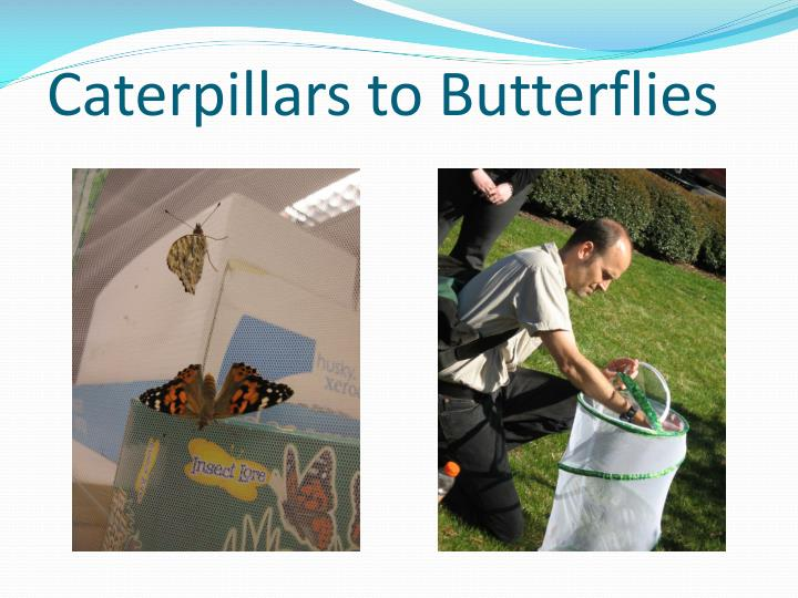 Caterpillars to Butterflies