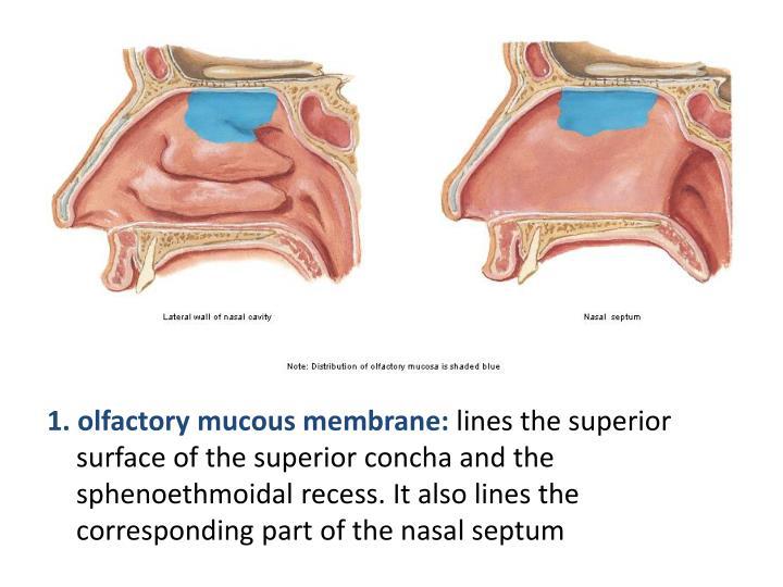 1. olfactory mucous membrane: