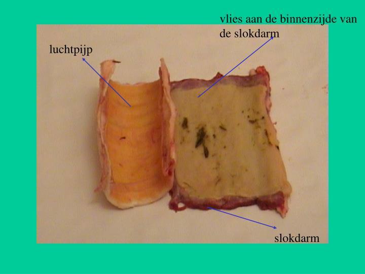 vlies aan de binnenzijde van de slokdarm
