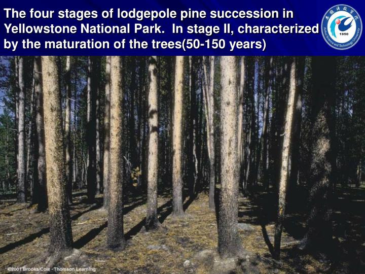 The four stages of lodgepole pine succession in Yellowstone National Park.  In stage II, characterized by the maturation of the trees(50-150 years)