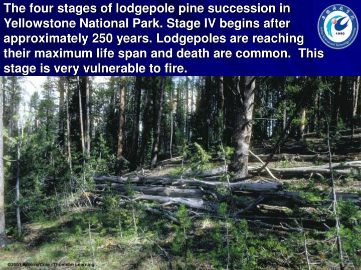 The four stages of lodgepole pine succession in Yellowstone National Park. Stage IV begins after approximately 250 years. Lodgepoles are reaching their maximum life span and death are common.  This stage is very vulnerable to fire.