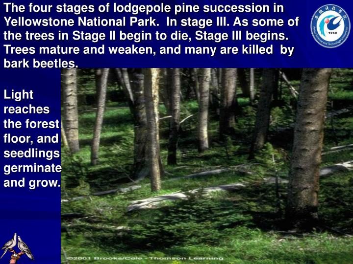The four stages of lodgepole pine succession in Yellowstone National Park.  In stage
