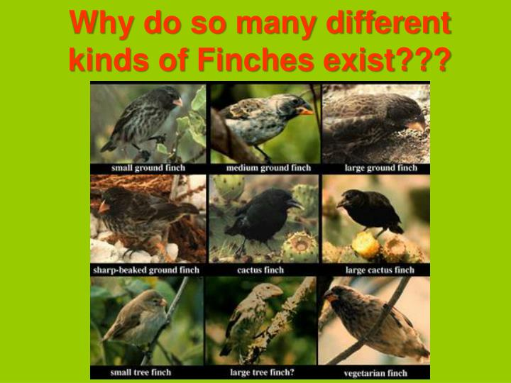 Why do so many different kinds of Finches exist???