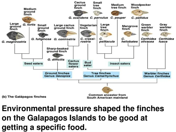 Environmental pressure shaped the finches on the Galapagos Islands to be good at getting a specific food.