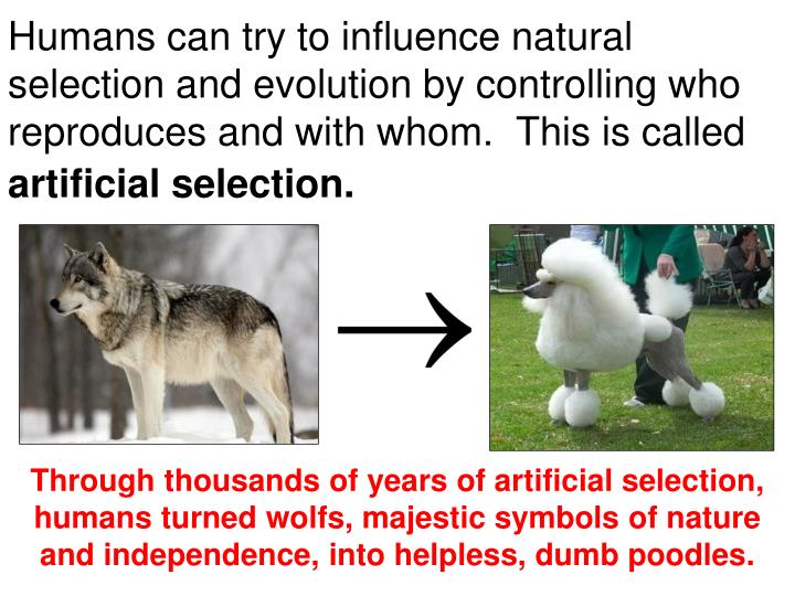Humans can try to influence natural selection and evolution by controlling who reproduces and with whom.  This is called