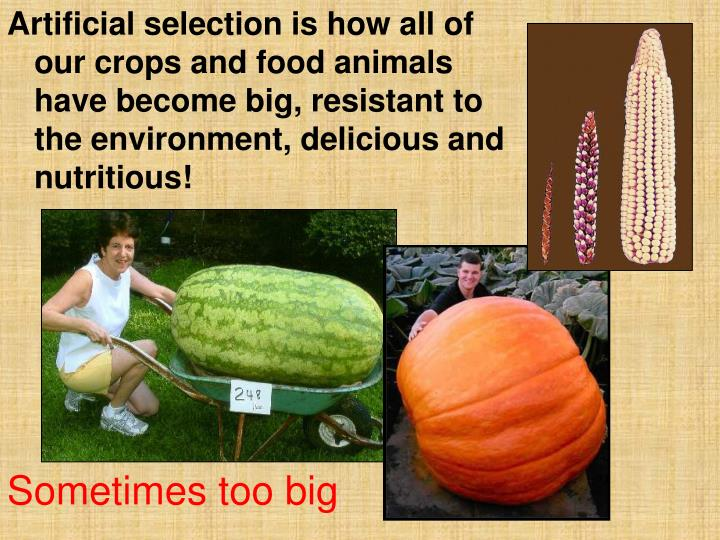 Artificial selection is how all of our crops and food animals have become big, resistant to the environment, delicious and nutritious!