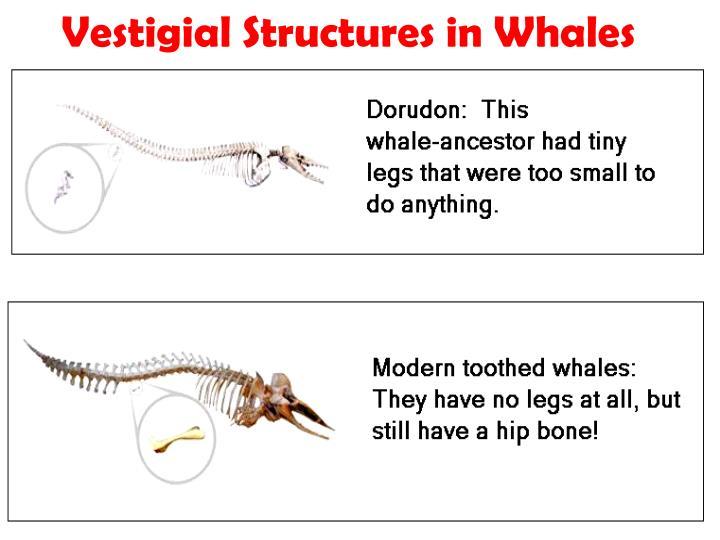 Vestigial Structures in Whales