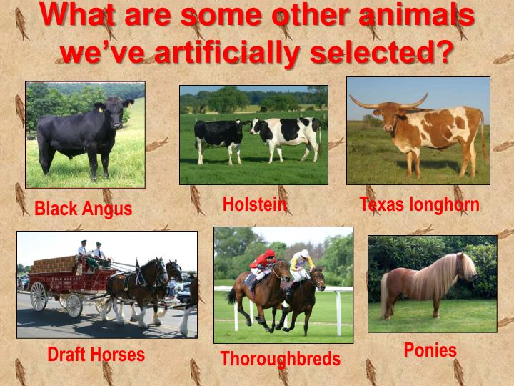 What are some other animals we've artificially selected?