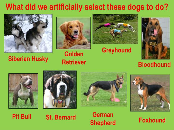 What did we artificially select these dogs to do?
