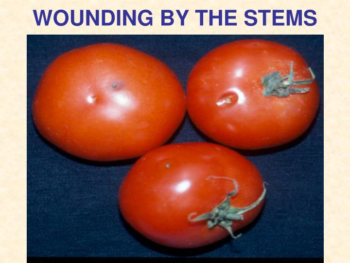 WOUNDING BY THE STEMS