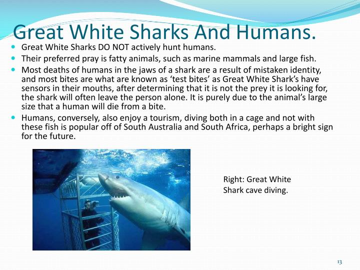 Great White Sharks And Humans.