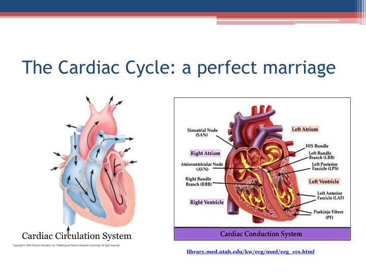 The Cardiac Cycle: a perfect marriage