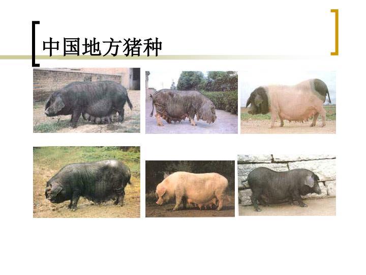 中国地方猪种