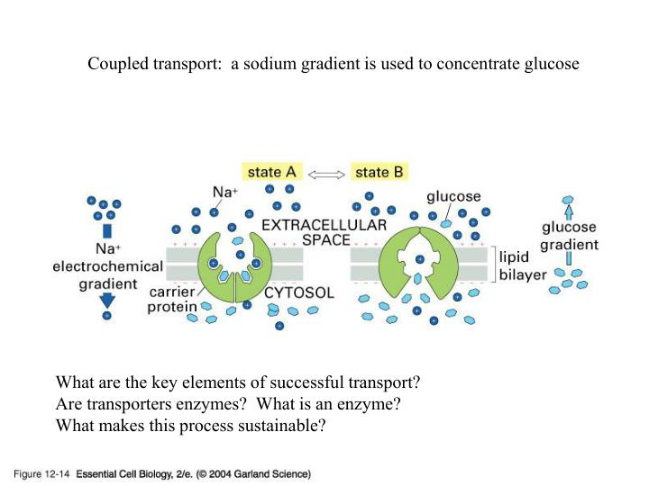 Coupled transport:  a sodium gradient is used to concentrate glucose