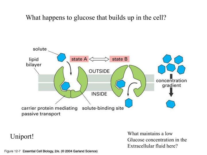 What happens to glucose that builds up in the cell?