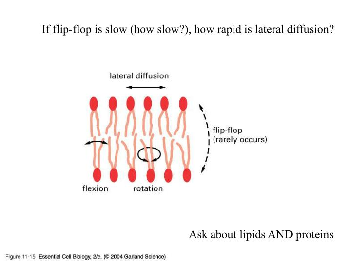 If flip-flop is slow (how slow?), how rapid is lateral diffusion?