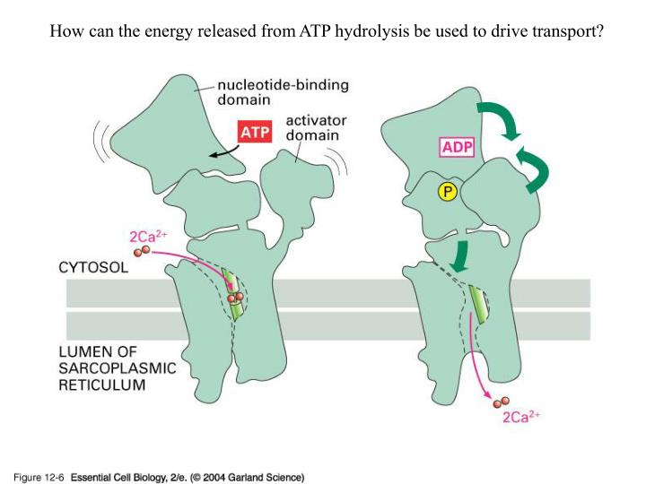 How can the energy released from ATP hydrolysis be used to drive transport?