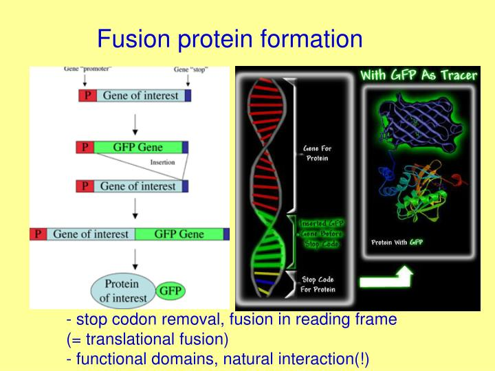 Fusion protein formation