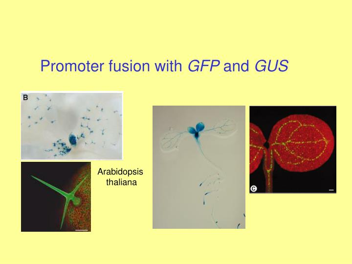Promoter fusion with