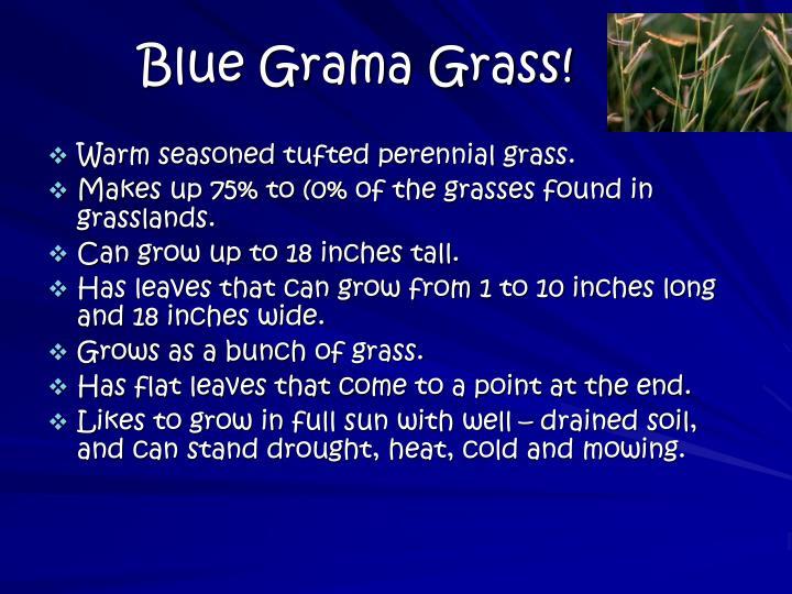 Blue Grama Grass!
