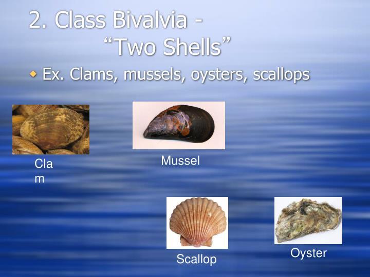 2. Class Bivalvia -
