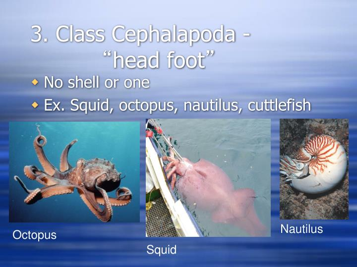 3. Class Cephalapoda -