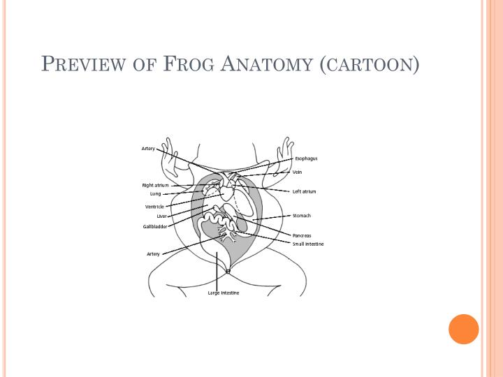 Preview of Frog Anatomy (cartoon)