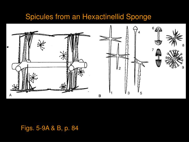 Spicules from an Hexactinellid Sponge