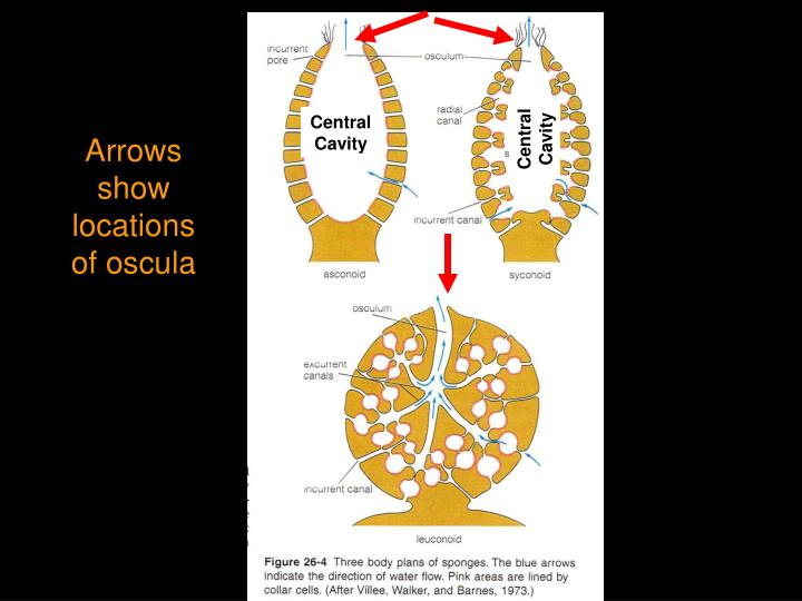 Central Cavity