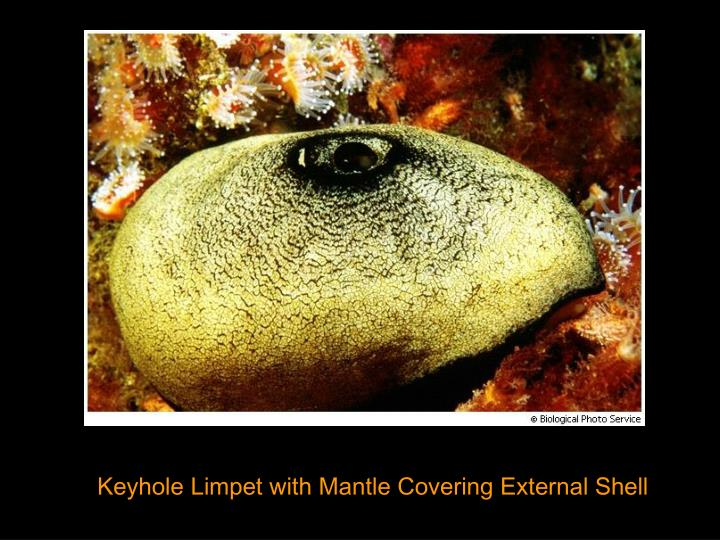 Keyhole Limpet with Mantle Covering External Shell