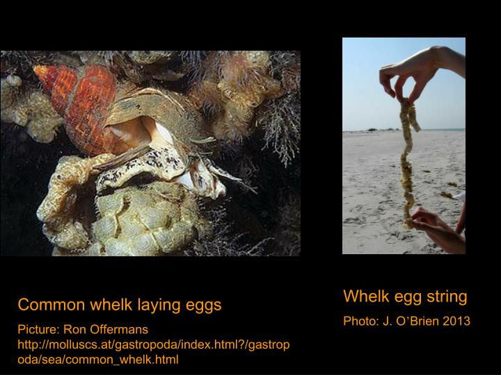 Whelk egg string
