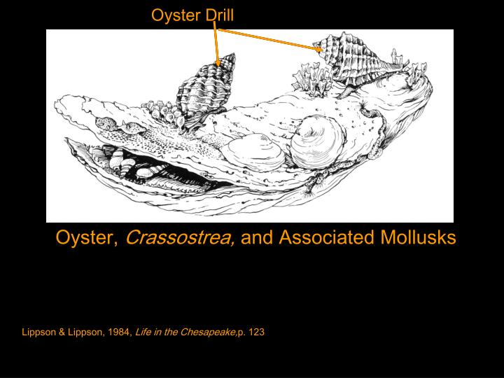 Oyster Drill