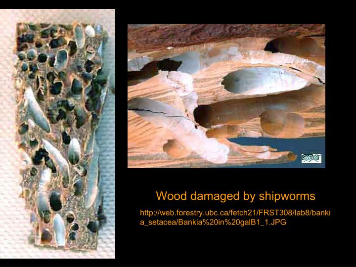 Wood damaged by shipworms