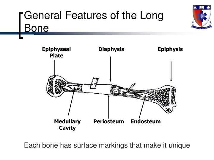 General Features of the Long Bone