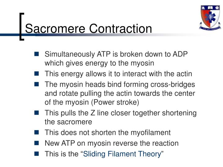 Sacromere Contraction