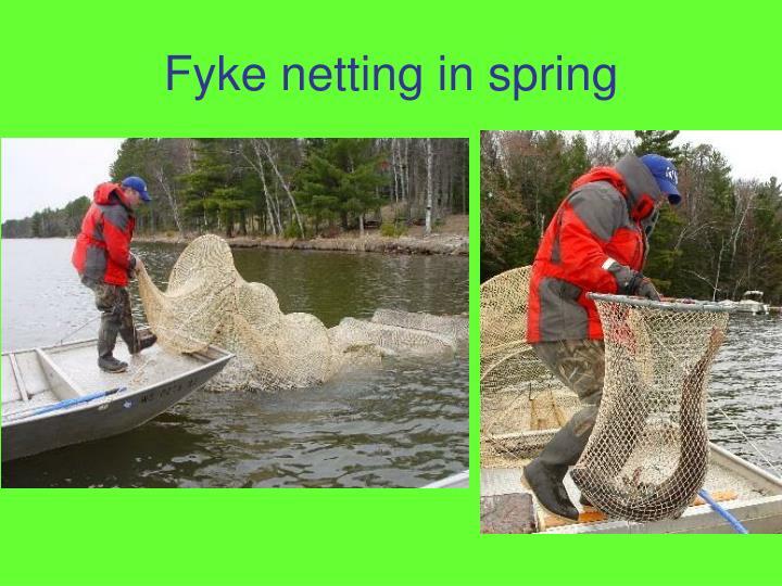 Fyke netting in spring