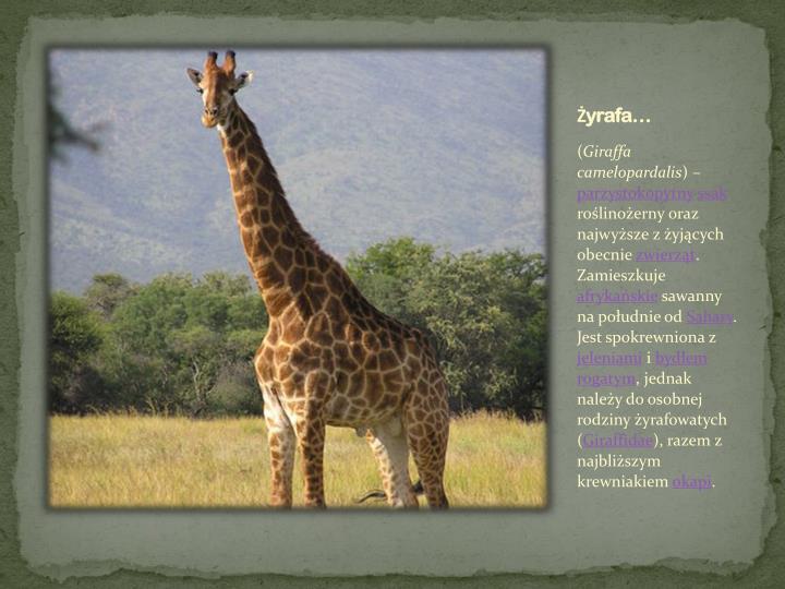 Żyrafa…