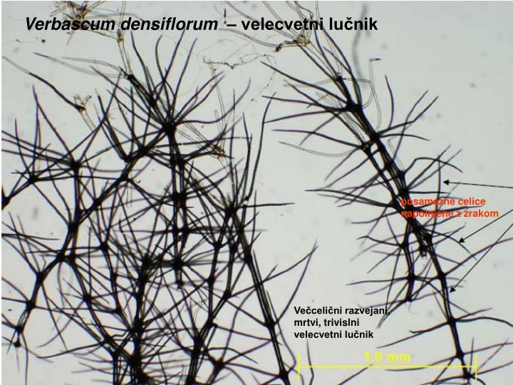 Verbascum densiflorum  –