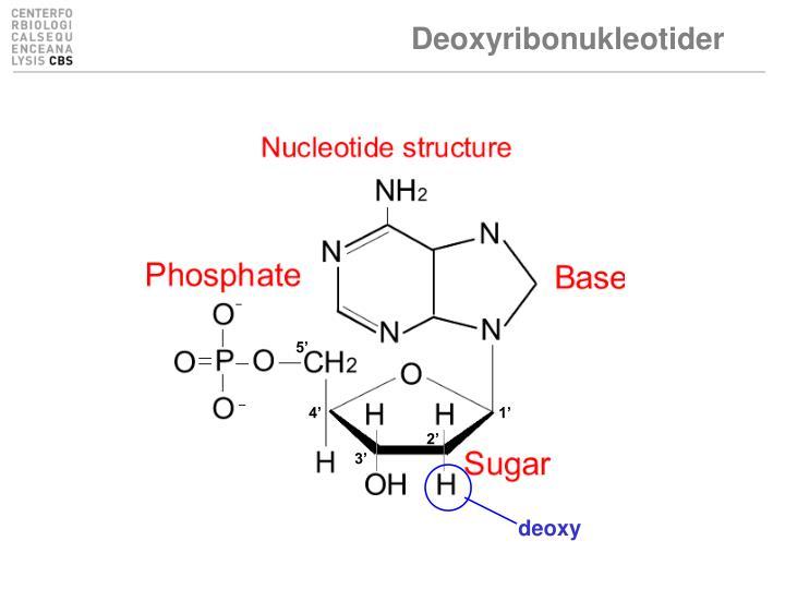 Deoxyribonukleotider